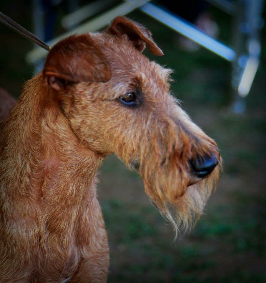 irish terrier club of america irish terrier club of america itca 5181