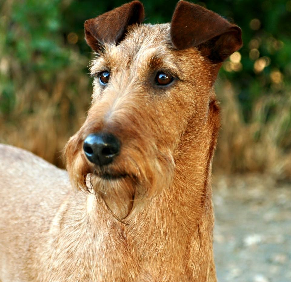 irish terrier club of america irish terrier club of america itca 9066