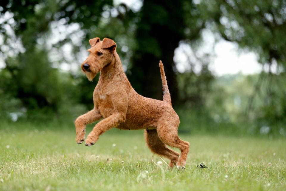 irish terrier club of america irish terrier club of america itca 6117