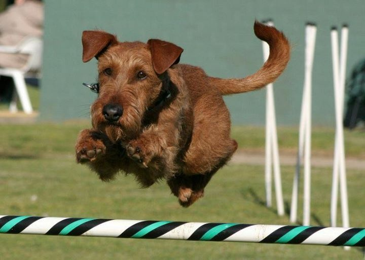 irish terrier club of america irish terrier club of america itca 1856
