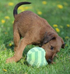 irish terrier club of america puppies irish terrier club of america 4831
