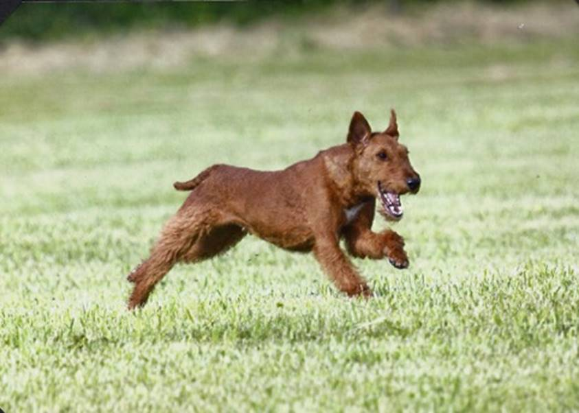 irish terrier club of america irish terrier club of america itca 2821